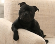Staffordshire Bull Terrier, 11 months, Black